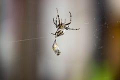 La araña coge la avispa Imagen de archivo libre de regalías
