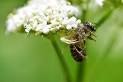 La araña cogió su presa de la abeja Imagen de archivo libre de regalías