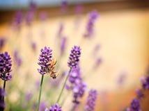 La araña cogió una abeja Imágenes de archivo libres de regalías