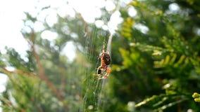 La araña come almacen de metraje de vídeo