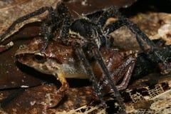 La araña come la rana Fotografía de archivo