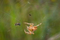 La araña de jardín europea cogió una abeja Fotos de archivo