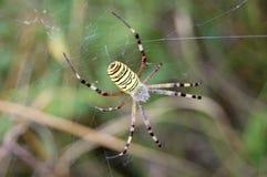 La araña de la avispa Fotografía de archivo libre de regalías