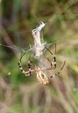 La araña de la avispa Imagen de archivo libre de regalías
