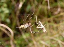La araña de la avispa Fotos de archivo