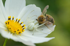 La araña del cangrejo coge la abeja Imagen de archivo libre de regalías