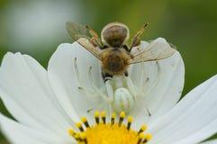 La araña del cangrejo coge la abeja Fotografía de archivo