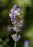 La araña del cangrejo come la abeja Fotografía de archivo libre de regalías