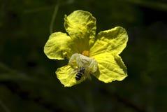 La araña del cangrejo que caza encendido manosea la abeja Imagen de archivo