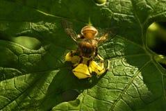 La araña del cangrejo que caza encendido manosea la abeja Fotos de archivo