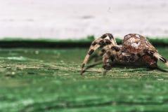 La araña del diadematus del Araneus se está escabulliendo Imagen de archivo
