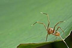 La araña del imitador de la hormiga Foto de archivo libre de regalías