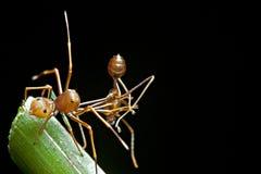 La araña del imitador de la hormiga con su alimento Fotografía de archivo