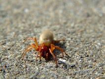 La araña del Woodlouse (crocata de Dysdera) Fotos de archivo