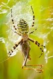 La araña devora el saltamontes Fotografía de archivo libre de regalías
