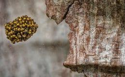 La araña Eggs la jerarquía en la grieta de la corteza de árbol Imagen de archivo libre de regalías