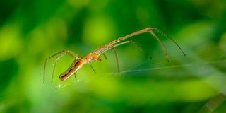 La araña elegante con las patas muy largas se sienta en su web en un fondo verde Fotos de archivo