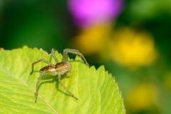 La araña femenina sin dos patas mira su presa en una hoja Fotografía de archivo libre de regalías
