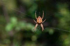 La araña grande del bosque está guardando el web imágenes de archivo libres de regalías