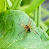 La araña marrón enorme se sienta en una hoja verde Fotos de archivo