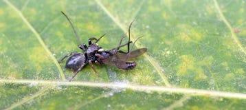 La araña que salta derribando un insecto en la hoja verde fotografía de archivo