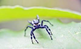 La araña que salta entre las hojas del piso del bosque fotografía de archivo libre de regalías