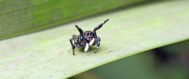 La araña que salta entre las hojas del piso del bosque imagenes de archivo