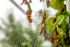 La araña se sienta en su web Fotos de archivo