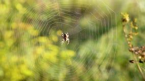 La araña se sienta en un web almacen de metraje de vídeo