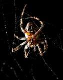 La araña se sienta en un web en la caza Foto de archivo