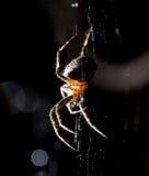 La araña se sienta en un web en la caza Imagen de archivo libre de regalías
