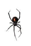 La araña, superficie inferior rojo-detrás, botella característica formó la marca Foto de archivo libre de regalías
