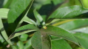 La araña verde se sienta en web de araña en la hoja cubierta de rocio de la planta y los pájaros cantan almacen de video