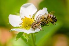 La araña Xysticus cogió una abeja que polinizó las flores de la fresa Imagen de archivo libre de regalías