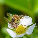 La araña Xysticus cogió una abeja que polinizó las flores de la fresa Fotografía de archivo libre de regalías