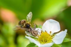 La araña Xysticus cogió una abeja que polinizó las flores de la fresa Fotos de archivo libres de regalías