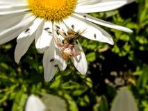 La araña y las moscas y una abeja Fotos de archivo