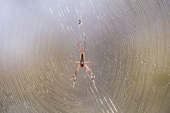 La araña de oro del orbe se sienta en insectos que esperan de un web para por la mañana su Fotos de archivo libres de regalías