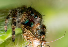 La araña de salto negra con la boca y los ojos verdes come el insecto Fotografía de archivo