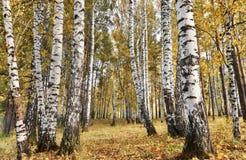 La arboleda del abedul con amarillo se va en día nublado del otoño Imagenes de archivo