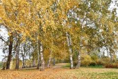 La arboleda del abedul con amarillo se va en día nublado del otoño Fotos de archivo