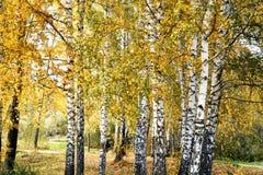 La arboleda del abedul con amarillo se va en día nublado del otoño Foto de archivo