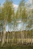 La arboleda del abedul con los árboles jovenes finos, la corona consiste en pequeñas ramas y las hojas, en la distancia se pueden Fotos de archivo libres de regalías