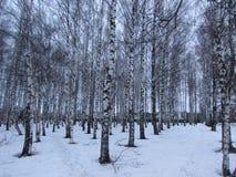 La arboleda del abedul en invierno fotografía de archivo libre de regalías