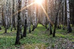 La arboleda del abedul en la primavera es iluminada por el sol Imágenes de archivo libres de regalías