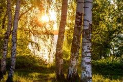 La arboleda del río del abedul sale de puesta del sol Imagenes de archivo