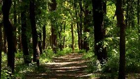 La arboleda se inunda en la luz del sol A principios de mayo, verdor enorme en bosque almacen de video