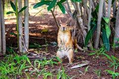la ardilla Brown-roja se coloca en un matorral del verdor en la tierra Cierre para arriba Ardilla linda en los matorrales de árbo foto de archivo libre de regalías