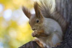La ardilla come la nuez en un árbol en la madera del otoño imagen de archivo libre de regalías
