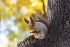 La ardilla come la nuez en un árbol en la madera del otoño foto de archivo